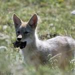 Coyote pup, Canada